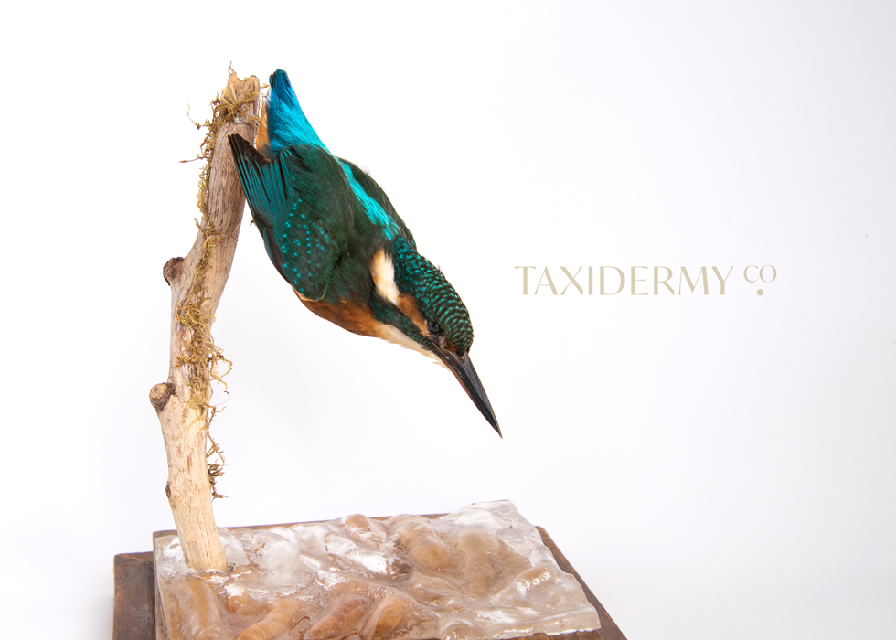 Taxidermy Common Kingfisher (alcedo attis) For Sale