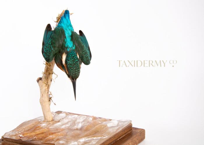 Taxidermy Common Kingfisher (alcedo attis)