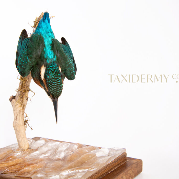 Taxidermy Common Kingfisher (alcedo attis)