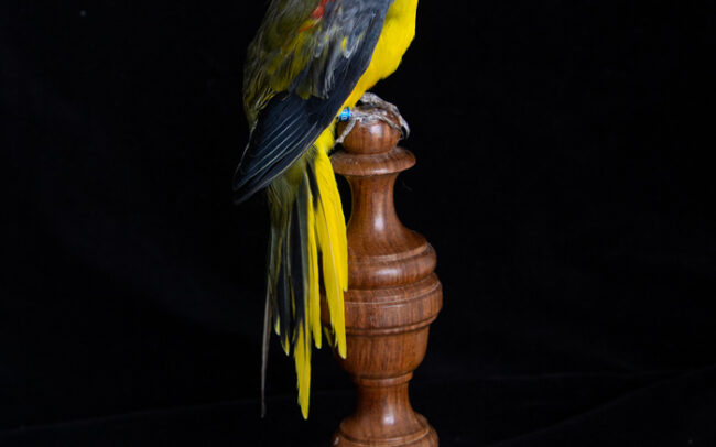 Ethical Taxidermy Parrot For Sale