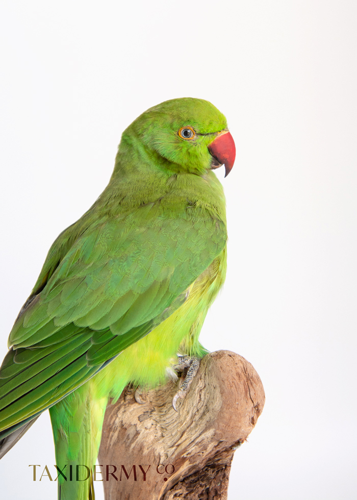 Taxidermy Ring Neck Parakeet For Sale