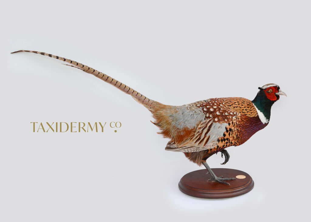 Taxidermy Ring Neck Pheasant For Sale