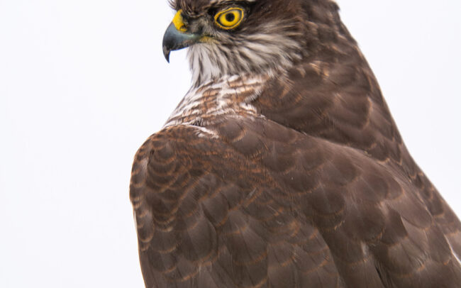 Taxidermy-Sparrowhawk-1