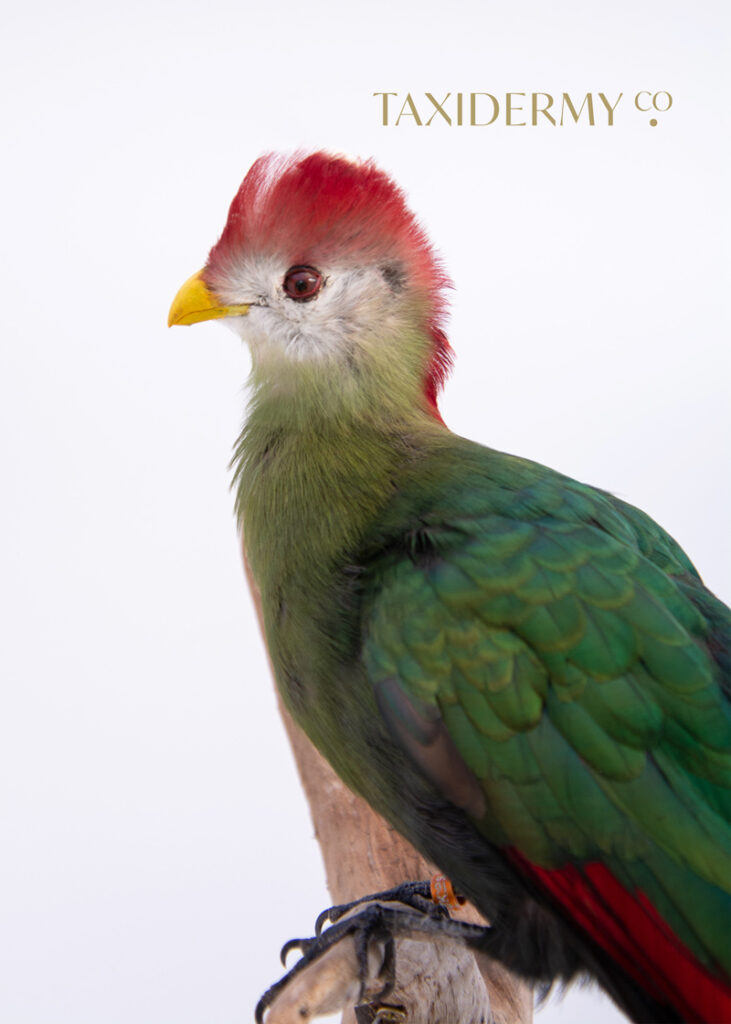 Taxidermy Red Crested Turaco