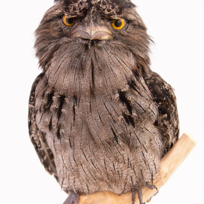 Taxidermy-Tawny-Frogmouth