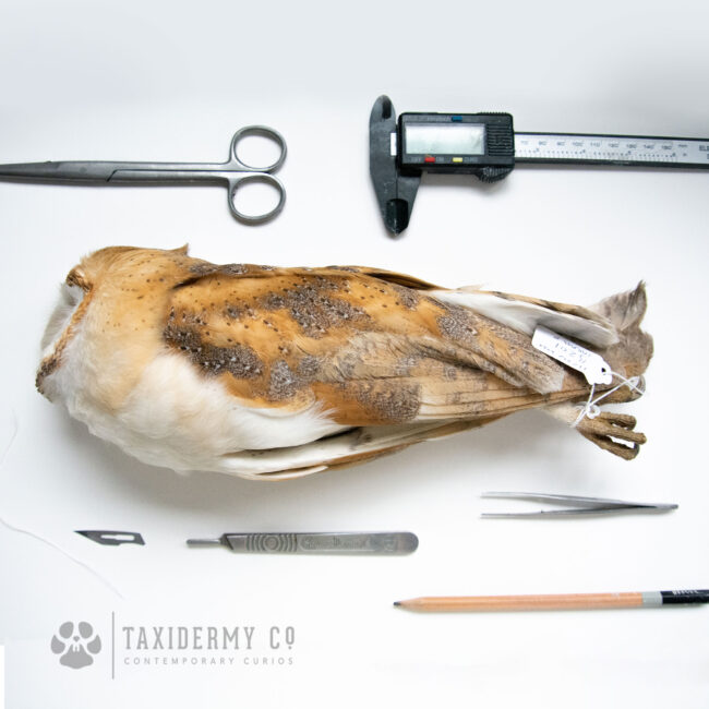 Taxidermists Work Bench
