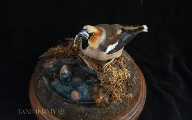 Taxidermy Hawfinch Bird